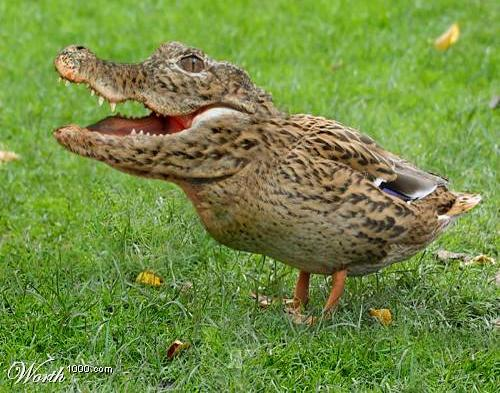 What Food Does A Mallard Duck Eat