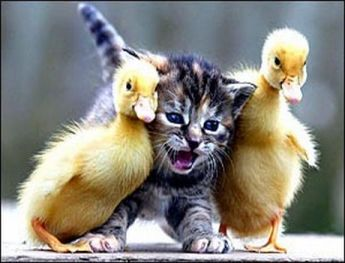Baby Ducks n kitty